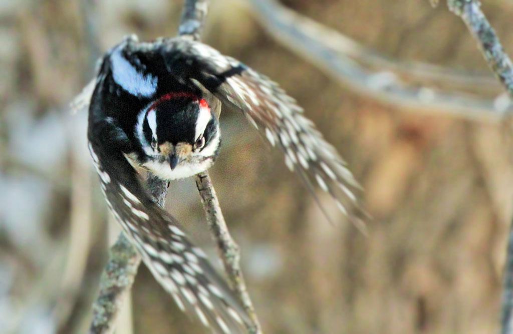 022214-downy-woodpecker-in-flight