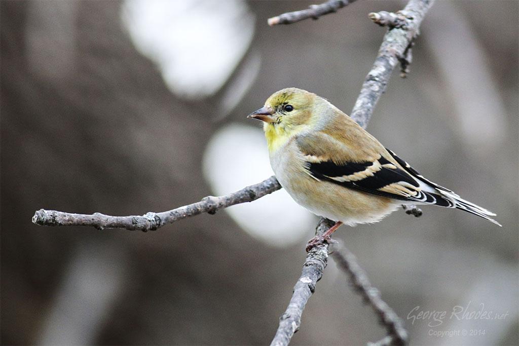 031814-american-goldfinch