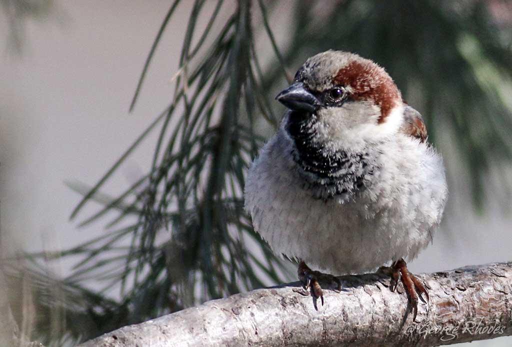032114-house-sparrow