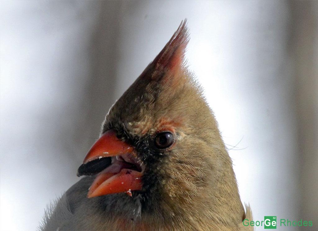 121013-female-cardinal