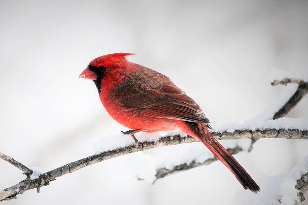 022114-cardinal-06
