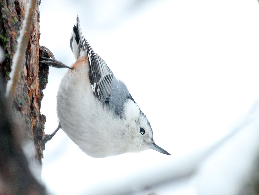 022114-white-breasted-nuthatch