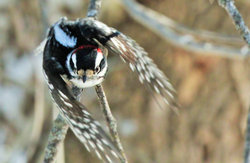 022214-downy-woodpecker-in-flight
