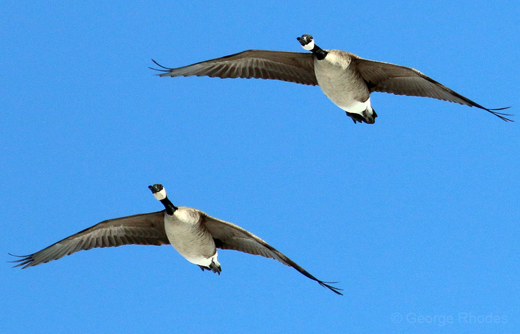 031313-geese