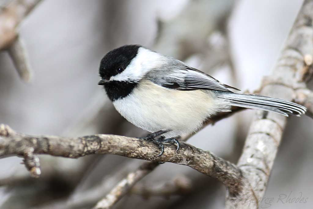 032114-black-capped-chickadee