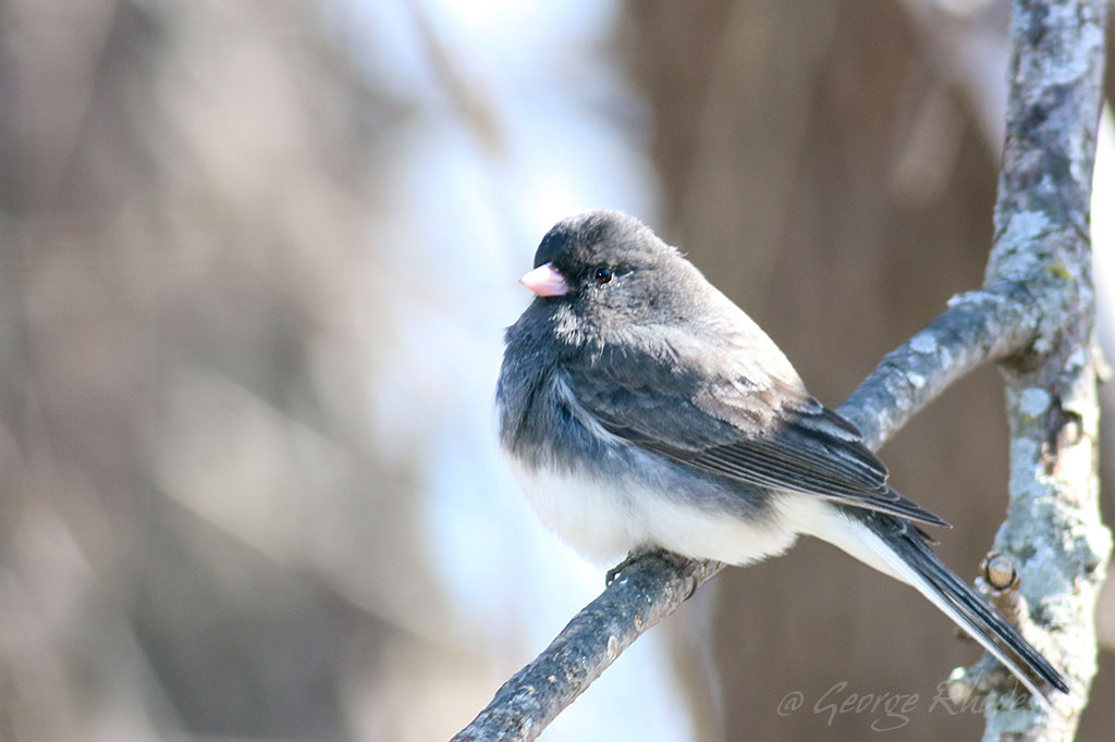 032214-dark-eyed-junco