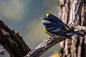 Yellow--rumped Warbler