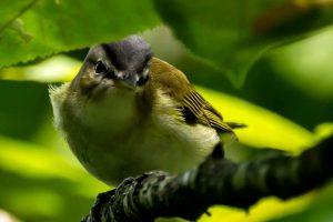 Tennesssee Warbler